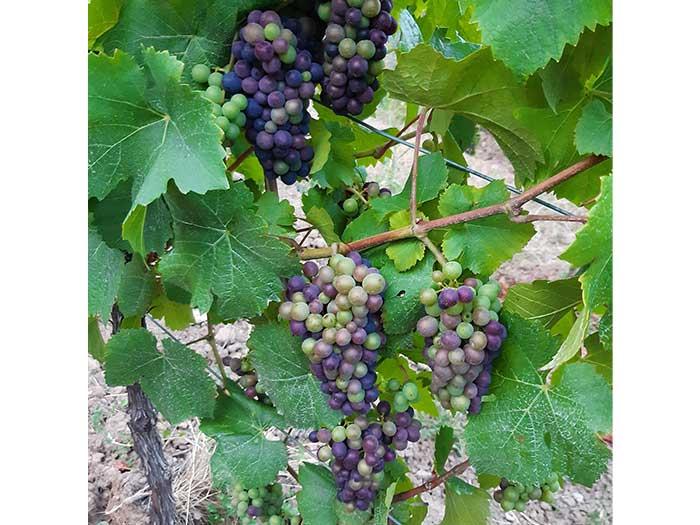 druiven-elzas