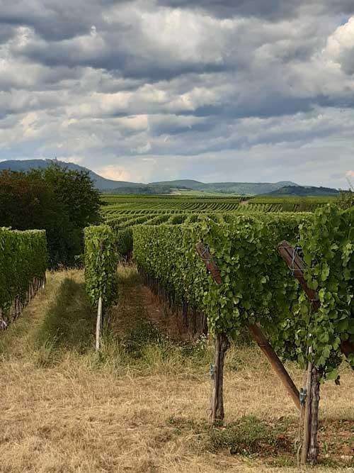 elzas-wijngaard-sfeerfoto